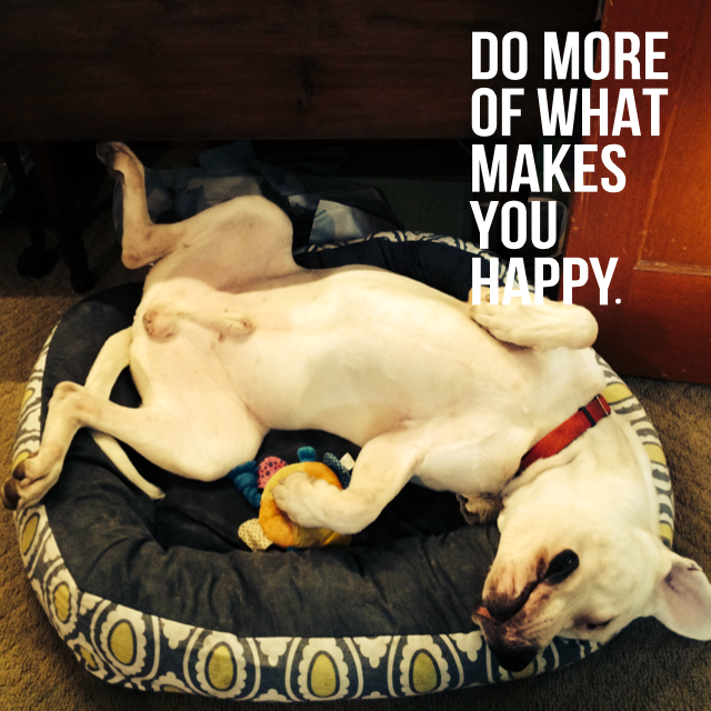 Dogo Argentino rescue dog laying in bed with toy